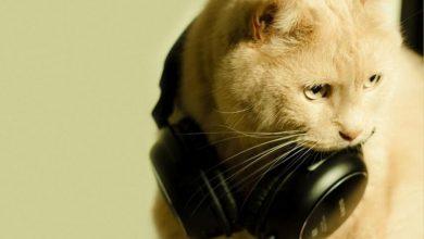 Photo of Вчені виявили пісню, яка заспокоює кішок