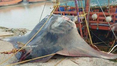 Photo of Біля берегів Індії зловили ската вагою в 900 кг