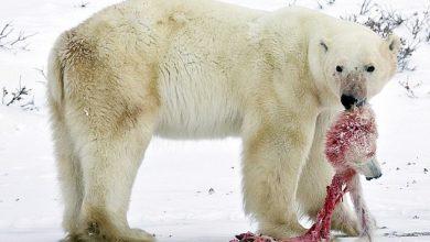 Photo of В Арктиці почастішали випадки канібалізму у білих ведмедів