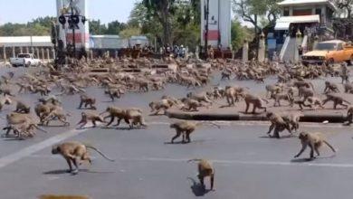 Photo of В Тайланді відбулося «повстання мавп»