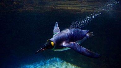 Photo of Пінгвіни продовжують комунікувати і під водою (відео)