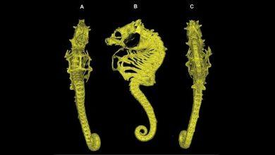 Photo of Виявлено незвичайний новий вид карликового морського коника