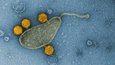 Photo of Найбільш поширена бактерія Світового океану виявилася резервуаром вірусів