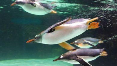 Photo of Чому пінгвіни так швидко плавають?