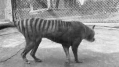 Photo of Знайдено рідкісне відео з вимерлим тасманським тигром
