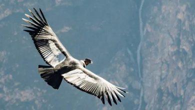 Photo of Андський кондор виявився здатний літати 5 годин без єдиного помаху крил