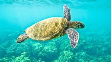 Photo of Морські черепахи виявилися поганими штурманами