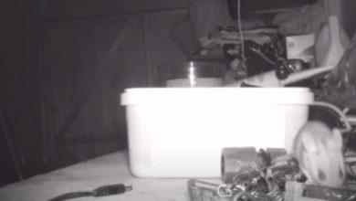 Photo of Миша щоночі робить прибирання в сараї фермера (відео)