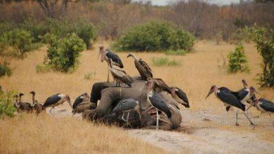 Photo of Вчені назвали можливу причину масової загибелі слонів в Ботсвані