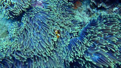 Photo of Штучний підйом вод допоможе врятувати коралові рифи