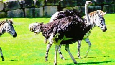 Photo of У Великобританії страус вважає себе зеброю