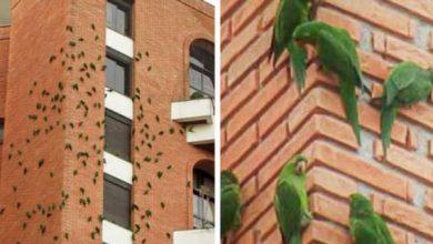 Photo of Папуги в Бразилії їдять цеглини, але поки незрозуміло, навіщо