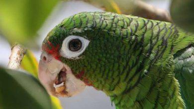 Photo of Папуги вивчили «нову мову» і тепер не розуміють родичів