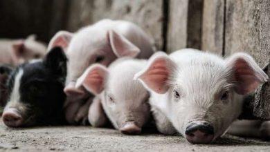 Photo of Свиням будують ціле місто на горі в Китаї