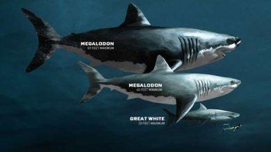 Photo of Гігантські розміри мегалодон пояснили внутрішньоутробним канібалізмом
