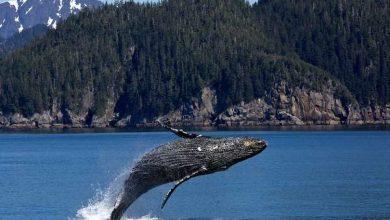 Photo of З'ясувалося, чому кити змінюють гучність свого співу