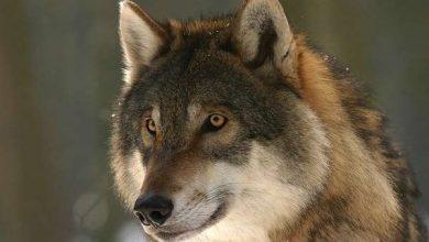 Photo of Вовки виявилися здатні прив'язуватися до людей