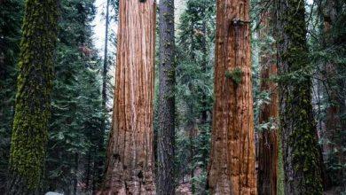 Photo of Вчені підрахували масу каліфорнійських секвой