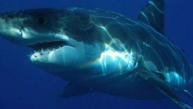 Photo of Акули стали частіше вбивати людей