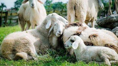 Photo of В організмі 92% овець знайшли мікропластик
