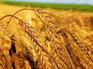 Вироби з пшениці - корисні вони чи ні?