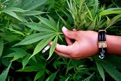 У США ринок марихуани зростає швидше ринку смартфонів