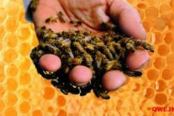 Ефективна апітерапія: лікування варикозу бджолами