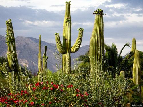 kaktusy_resized