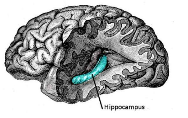 hippocampus_600