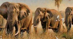 Слони чують дощ на відстані в 240 кілометрів