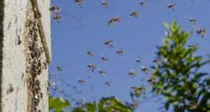 Екологи виявили страхітливі війни між австралійськими бджолами