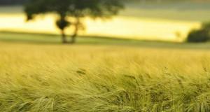 Знеболюючі та протизапальні заважають зростанню сільськогосподарських культур