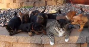 Кумедне відео: 9 цуценят атакували кота (відео)