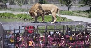 Унікальний зоопарк з левами (фото+відео)