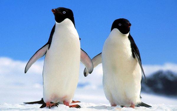 Колонії пінгвінів Аделі загрожує вимирання (відео)
