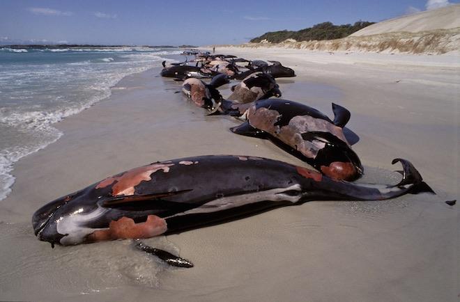 У мозку китів-самогубців виявили ртуть