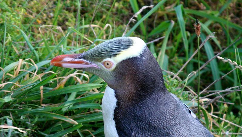 Рідкісні жовтоокі пінгвіни опинилися під загрозою вимирання