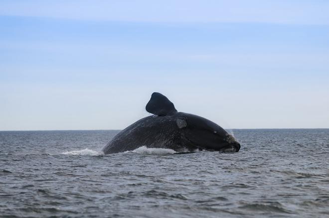 Біля узбережжя Аргентини відмічена рекордна кільксть китів