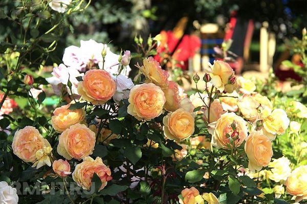 садженці троянд