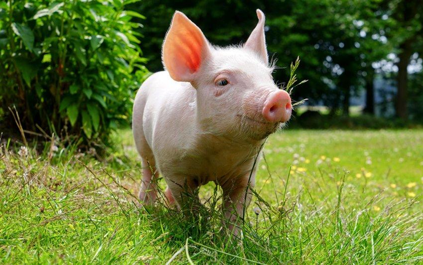 Ученые обнаружили у свиней новый смертельно опасный для человека вирус