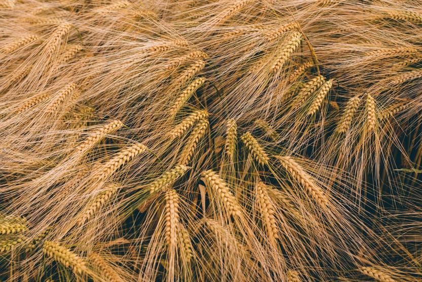 Эксперты: Пивоварение подтолкнуло древних людей к выращиванию зерновых